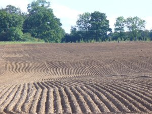 A ridge tilled field